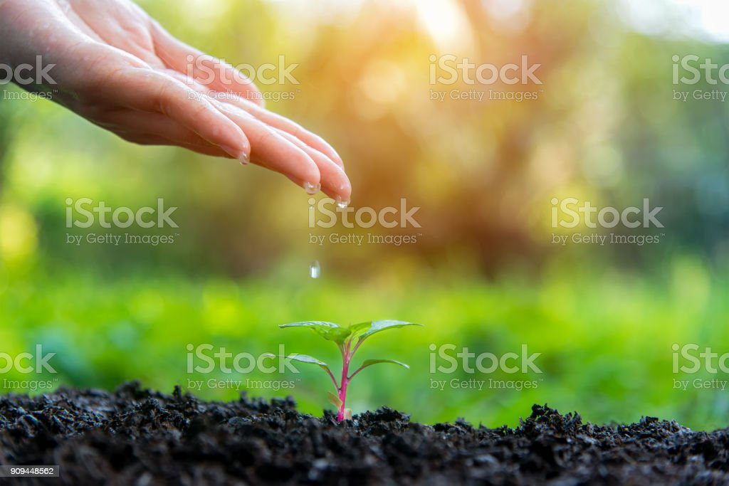 Hands of a farmer  dropping water in the young green plants at nature park for reduce global warming earth.  Ecology Concept stock photo