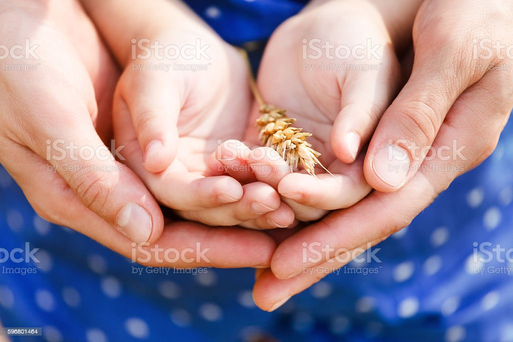 Hands of a mother and her little daughter holding wheat stock photo