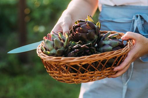 Organic homegrown artichokes in a basket, a close up.