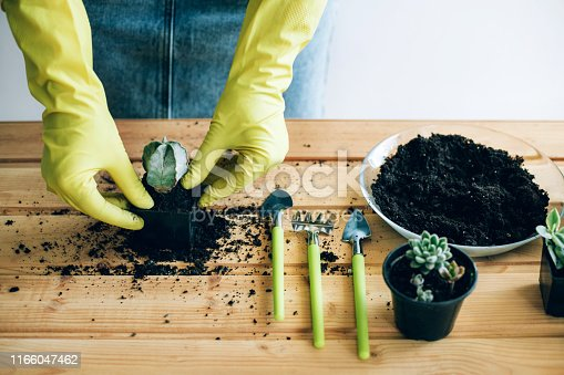 Planting decorative plants at home. Hands of a young woman planting cactus in the flower pot.