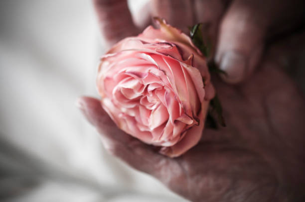 Hands of an old woman are holding a rose stock photo