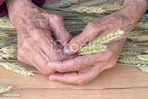 Hands of an old woman with ears of wheat