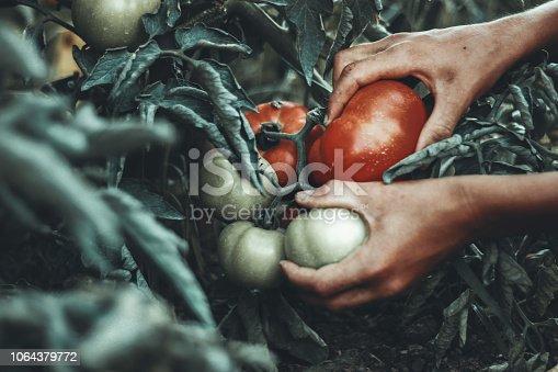 hands of farmer picking up fresh tomatoes at plantation