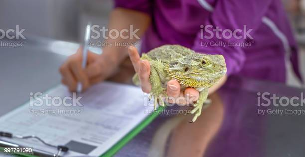 Hands of female vet holding bearded dragon in one hand while making picture id992791090?b=1&k=6&m=992791090&s=612x612&h=f snfmo1pi9lasy9r6cp3ec6udufvxcril mpg2jfau=