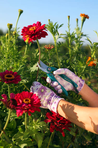 hands of gardener cutting red flower