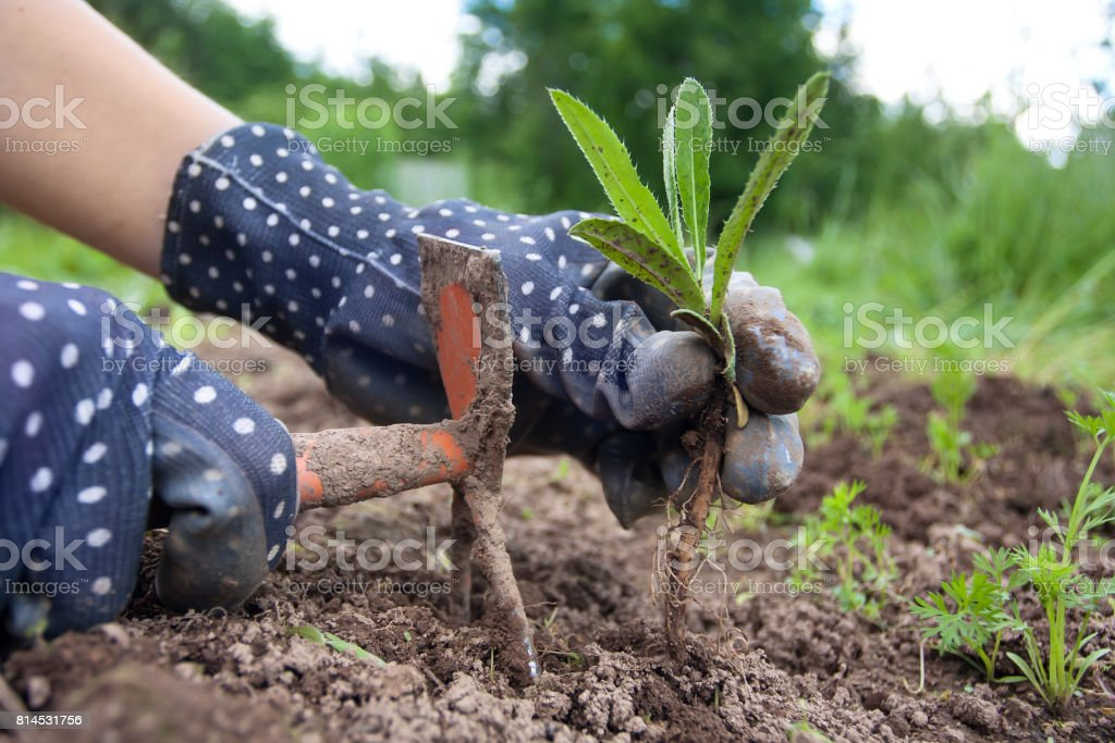 hands of gardener weeding in the vegetable garden stock photo