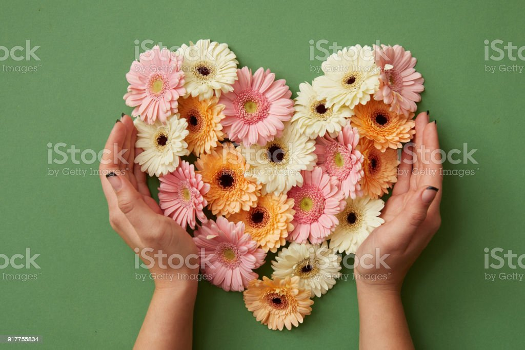 Hands of girl holding a heart of gerbera flowers stock photo