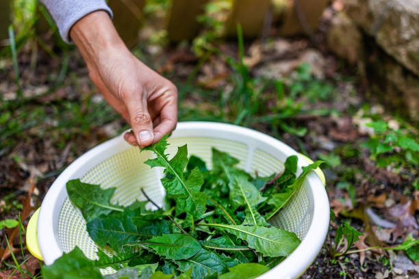 Hands of man picking wild green dandelion leaves for health on trail in park or garden backyard closeup of leafy greens stock photo