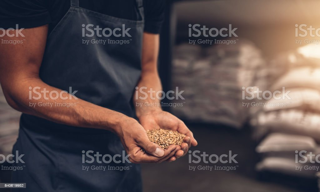 Hands of master brewer with barley seeds stock photo