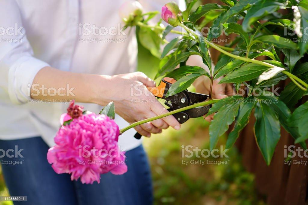 Manos de jardinero mujer de edad media. Mujer que trabaja con la podadera en jardín interior en el día de verano. - foto de stock