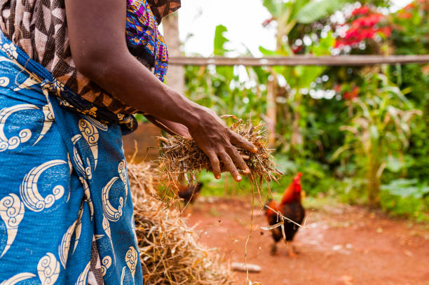 hands of old african woman in traditional clothes holding hay in countryside farm with animals stock photo