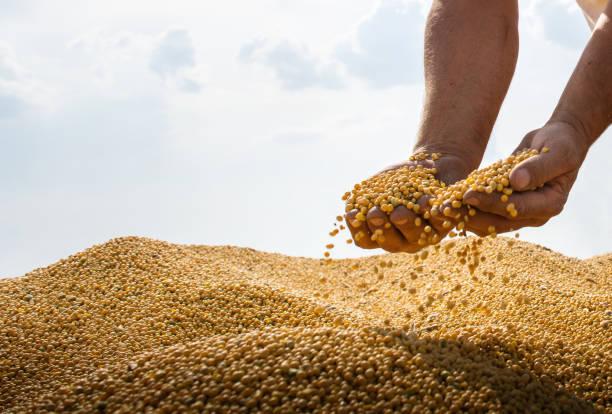 Hände von Bauern, die Sojabohnen nach der Ernte halten – Foto