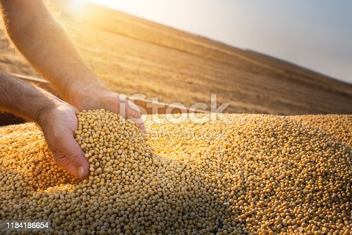 Hands of peasant holding soy beans after harvest