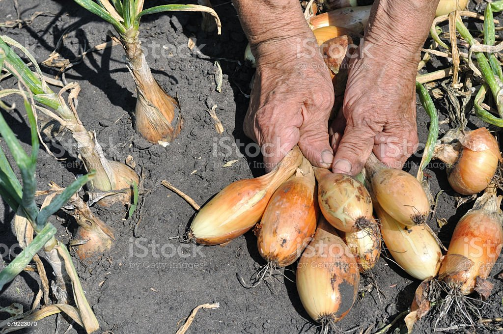 Hands of senior woman, holding freshly harvested ripe onion stock photo