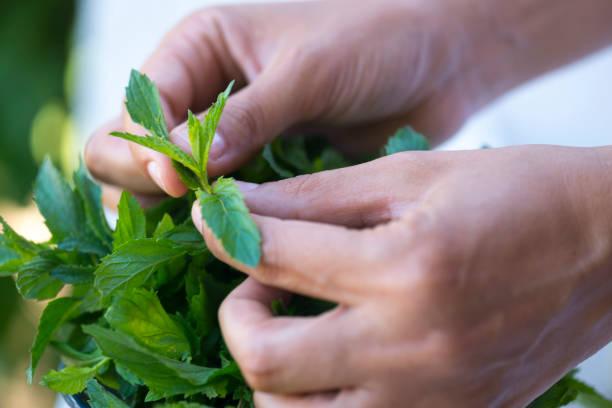 hands picking fresh mint from a plant - menta erba aromatica foto e immagini stock