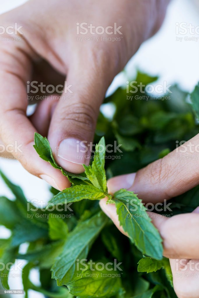 Hands picking fresh mint from a plant stock photo