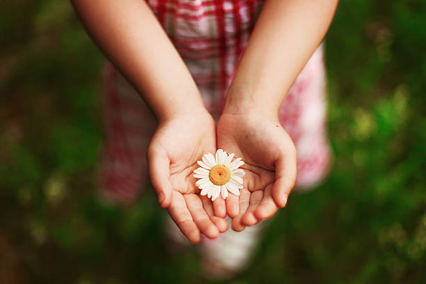 Hands. Chamomile in hands. hands cupped stock pictures, royalty-free photos & images