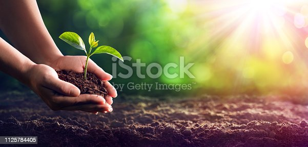 istock Hands Planting The Seedlings Into The Ground 1125784405