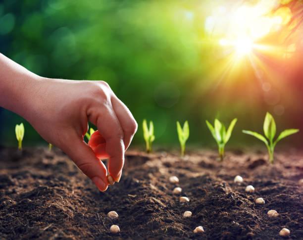 hands planting the seeds into the dirt - jardim imagens e fotografias de stock