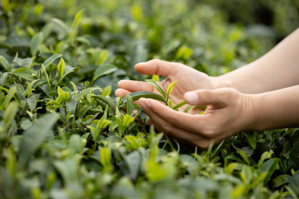 Hands protecting tea leaves in spring stock photo