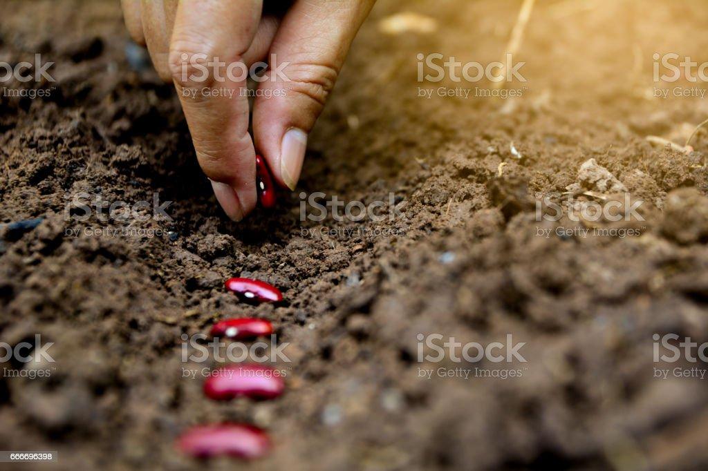 Händen setzen Rote Bohne Samen im Boden – Foto