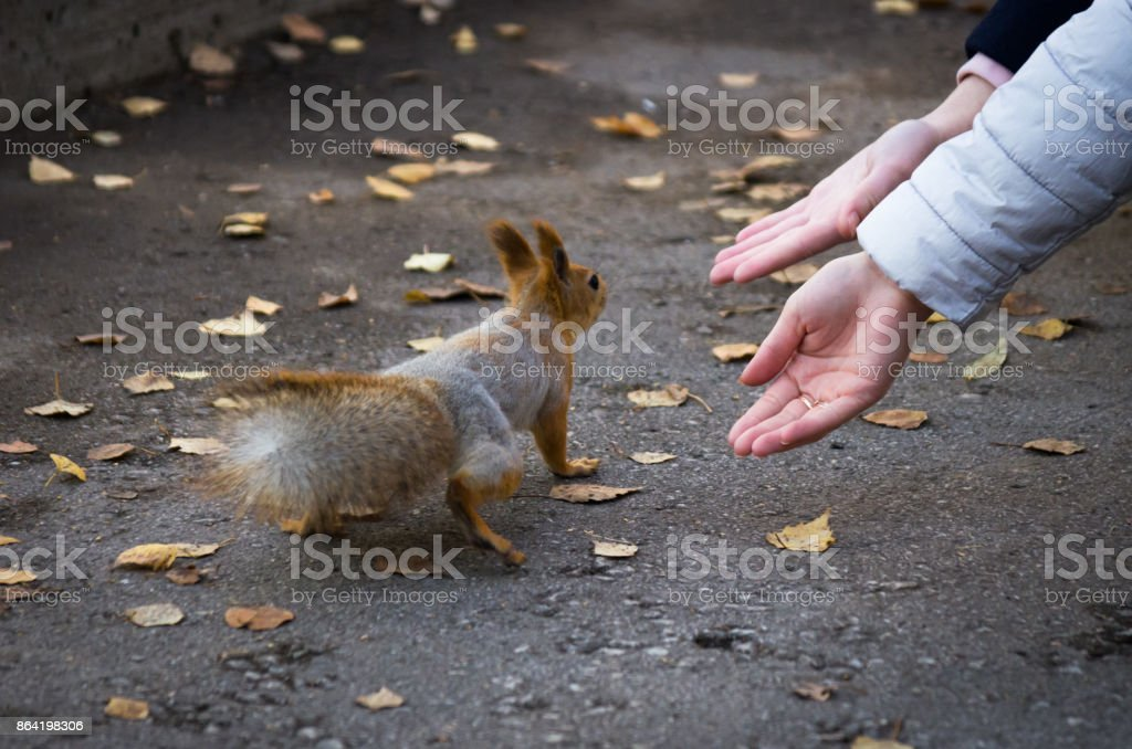 Hands reaching a red squirrel sitting on the walkway in the park in autumn royalty-free stock photo