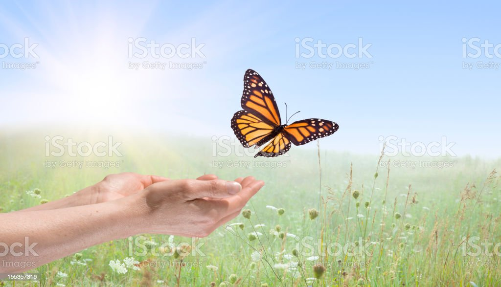 Hands releasing a Monarch Butterfly stock photo