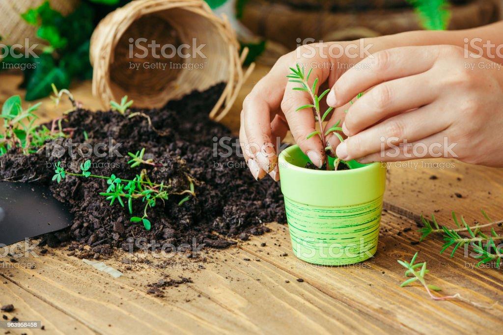 植物を植え替える手 - ガーデニングのロイヤリティフリーストックフォト