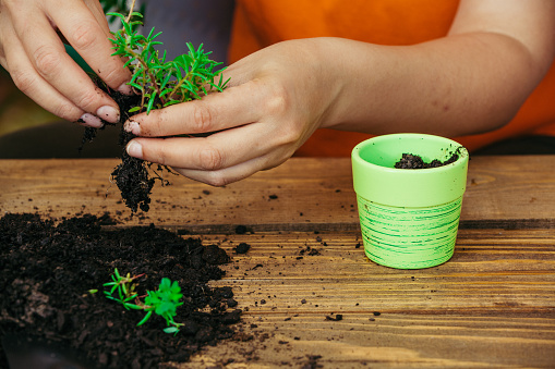 Hands Repotting A Plant Stock Photo - Download Image Now
