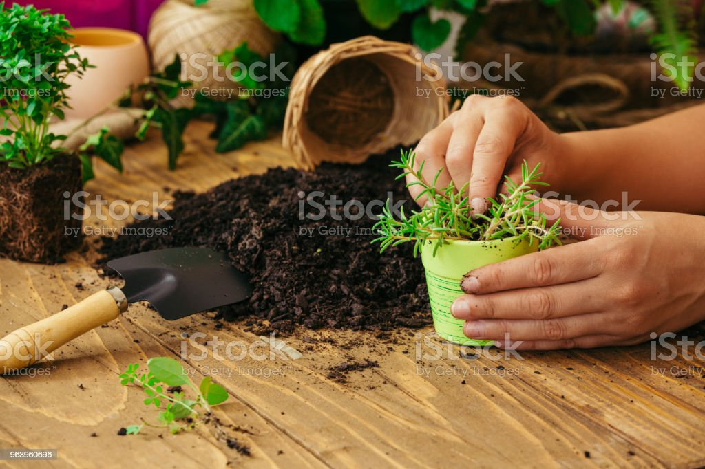 Hands re-potting a plant - Royalty-free Adult Stock Photo