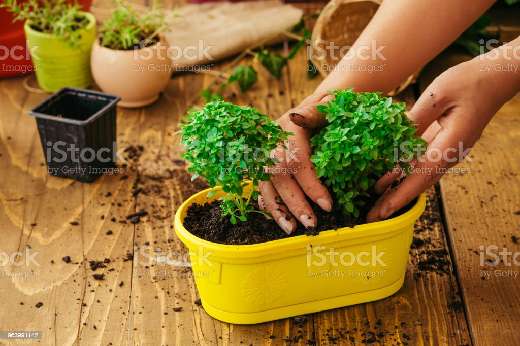 植物を植え替える手 - カラー画像のロイヤリティフリーストックフォト