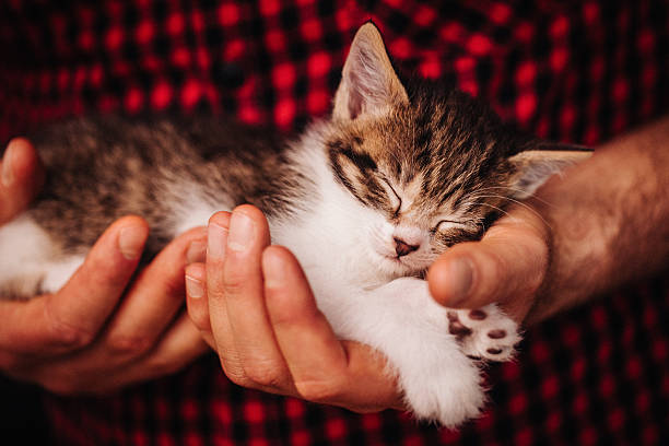 Hands safely holding a tiny sleeping fluffy kitten picture id499123820?b=1&k=6&m=499123820&s=612x612&w=0&h=jnxscu7j5kxxek72uulh4ohnpclrqnwm bnc0kwdyio=