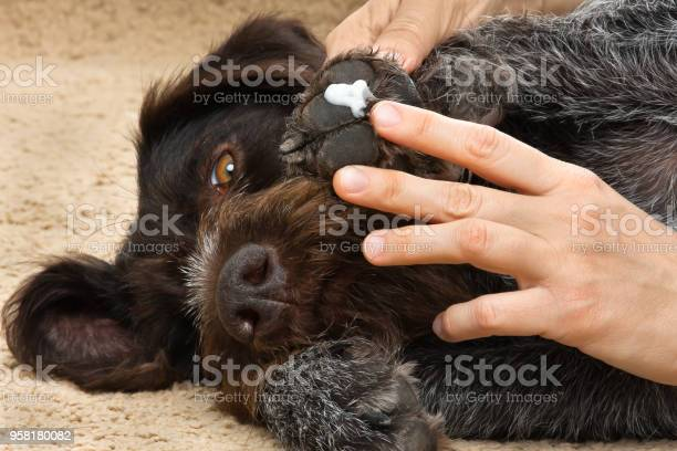 Hands smearing ointment to the paw of dog picture id958180082?b=1&k=6&m=958180082&s=612x612&h=2b pv0cfq9odi3udnste fy4cah39ao07yqb2c110co=