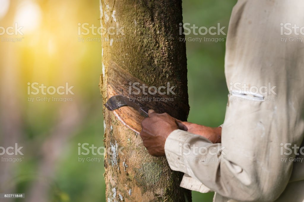 Hands tapping a rubber tree. stock photo