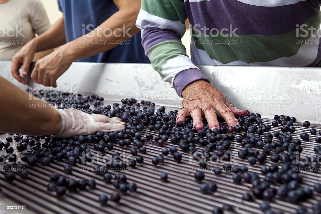 Hands touching blueberries after a harvest stock photo