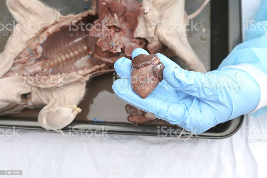 Hands With Gloves Holding A Fetal Pig Heart Stock Photo More