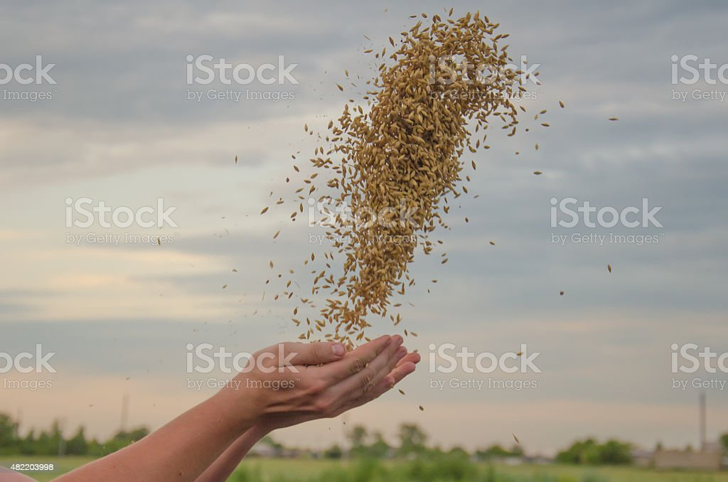 hands with grain stock photo