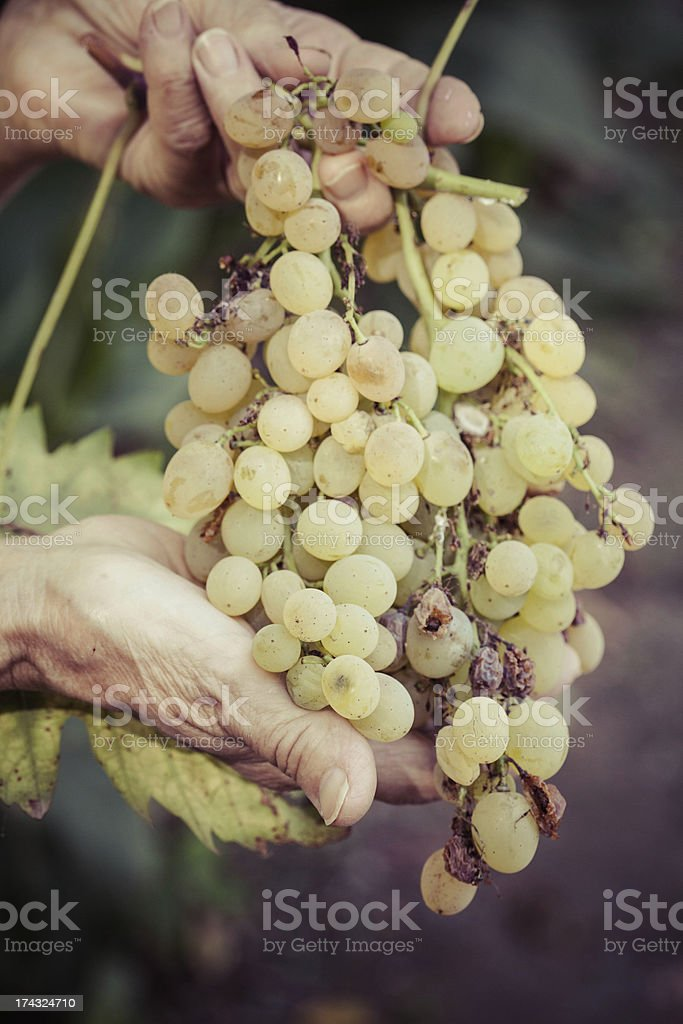 Hands with Grape royalty-free stock photo