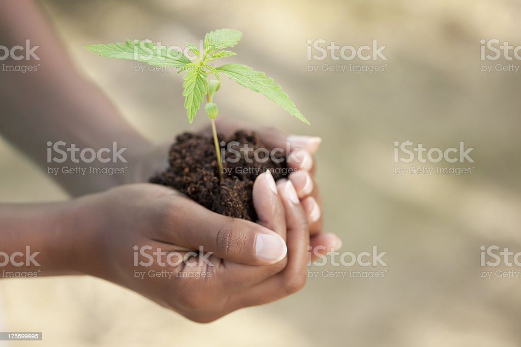 Hands with marijuana sprout in dirt stock photo