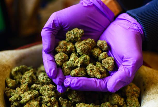 Hands with Purple Latex Gloves Holding Marijuana Buds stock photo