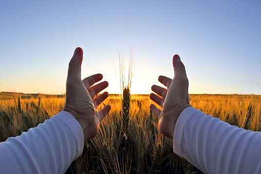 hands with spikelets of wheat against the setting sun