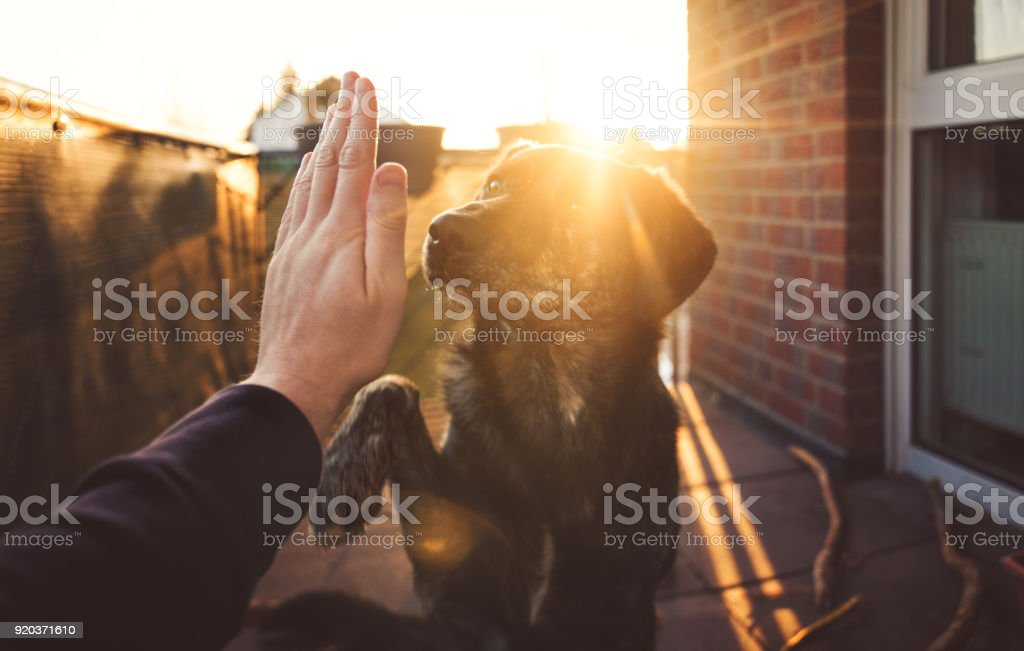 Handshake zwischen niedlich Australischer Schäferhund-Mix und Person vor schönen goldenen Sonnenuntergang leuchten auf Tatze und hand mit Textfreiraum – Foto