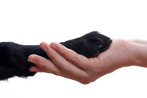 Handshake between dog and human a handshake between a dog and a person, isolated animal hand stock pictures, royalty-free photos & images