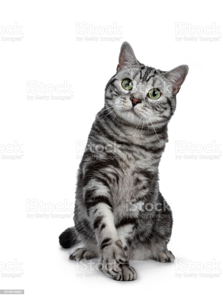 Handsome Black Silver Tabby British Shorthair Cat Sitting Playing