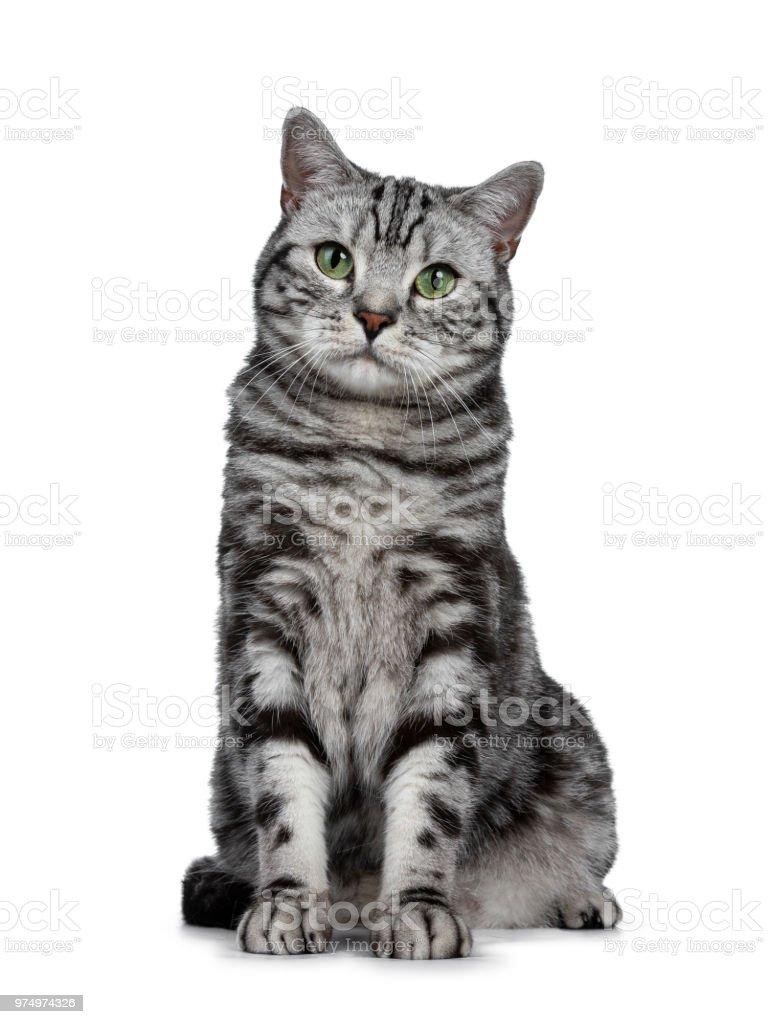 Handsome Black Silver Tabby British Shorthair Cat Sitting Straight