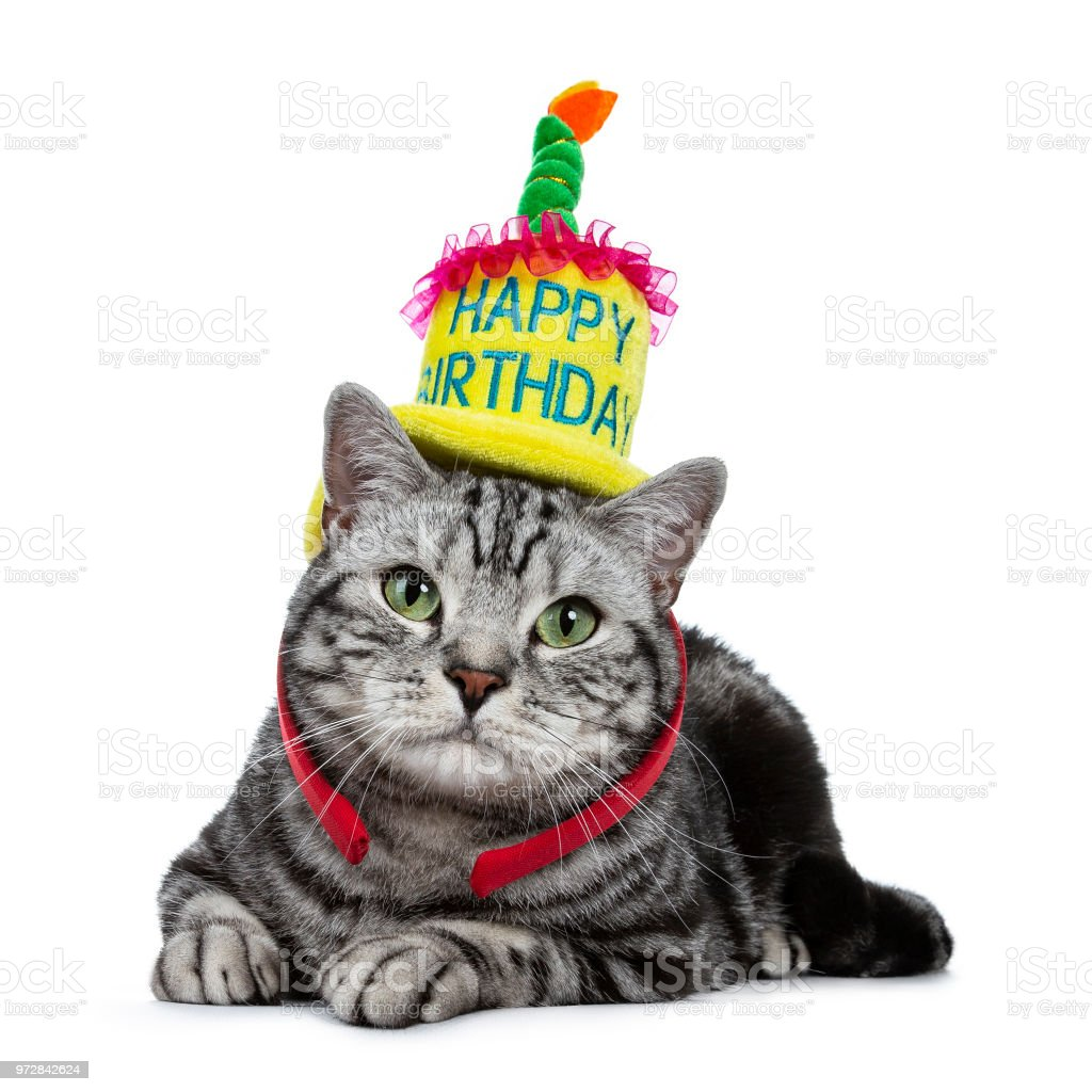 Handsome Black Tabby British Shorthair Cat With Green Laying Down Wearing A Yellow Happy Birthday Hat