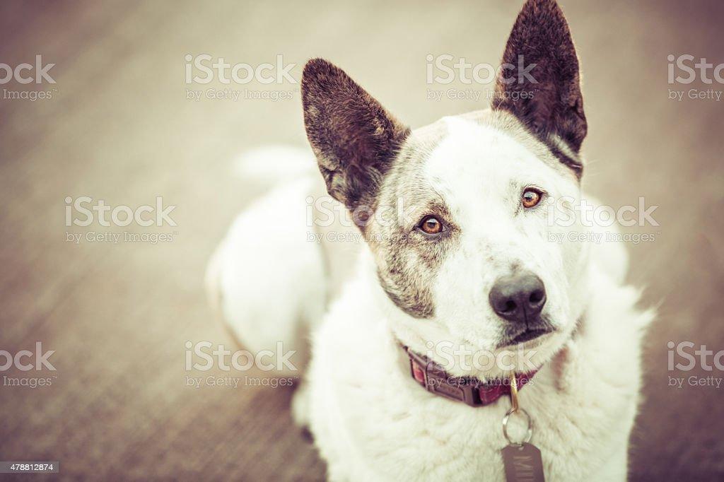 Przystojny Bydło pies patrzy na Ciebie – zdjęcie