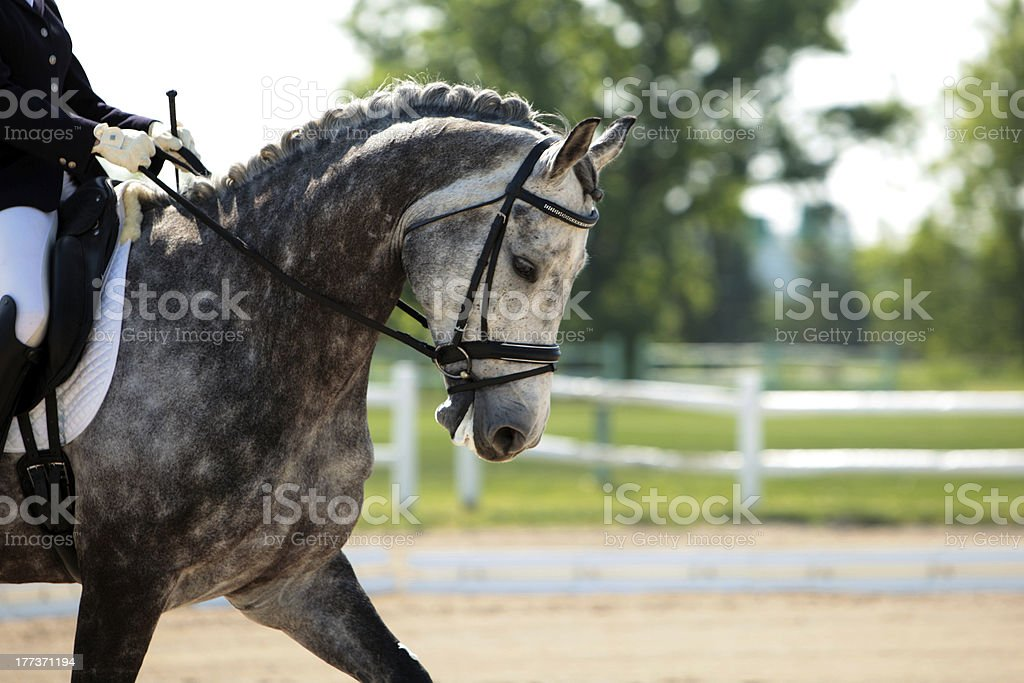 Handsome dapple gray dressage horse A very handsome dapple gray dressage horse trots into the ring at a show on a beautiful sunny day. Animal Stock Photo