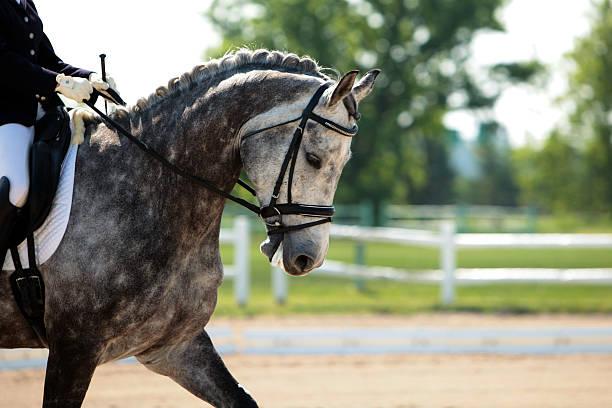 handsome dapple gray dressage horse - hästhoppning bildbanksfoton och bilder