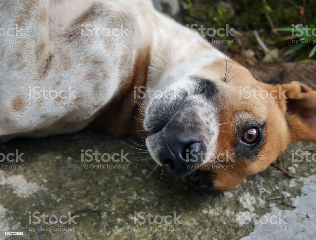 Handsome dog in submissive back lying pose looking to camera stock photo